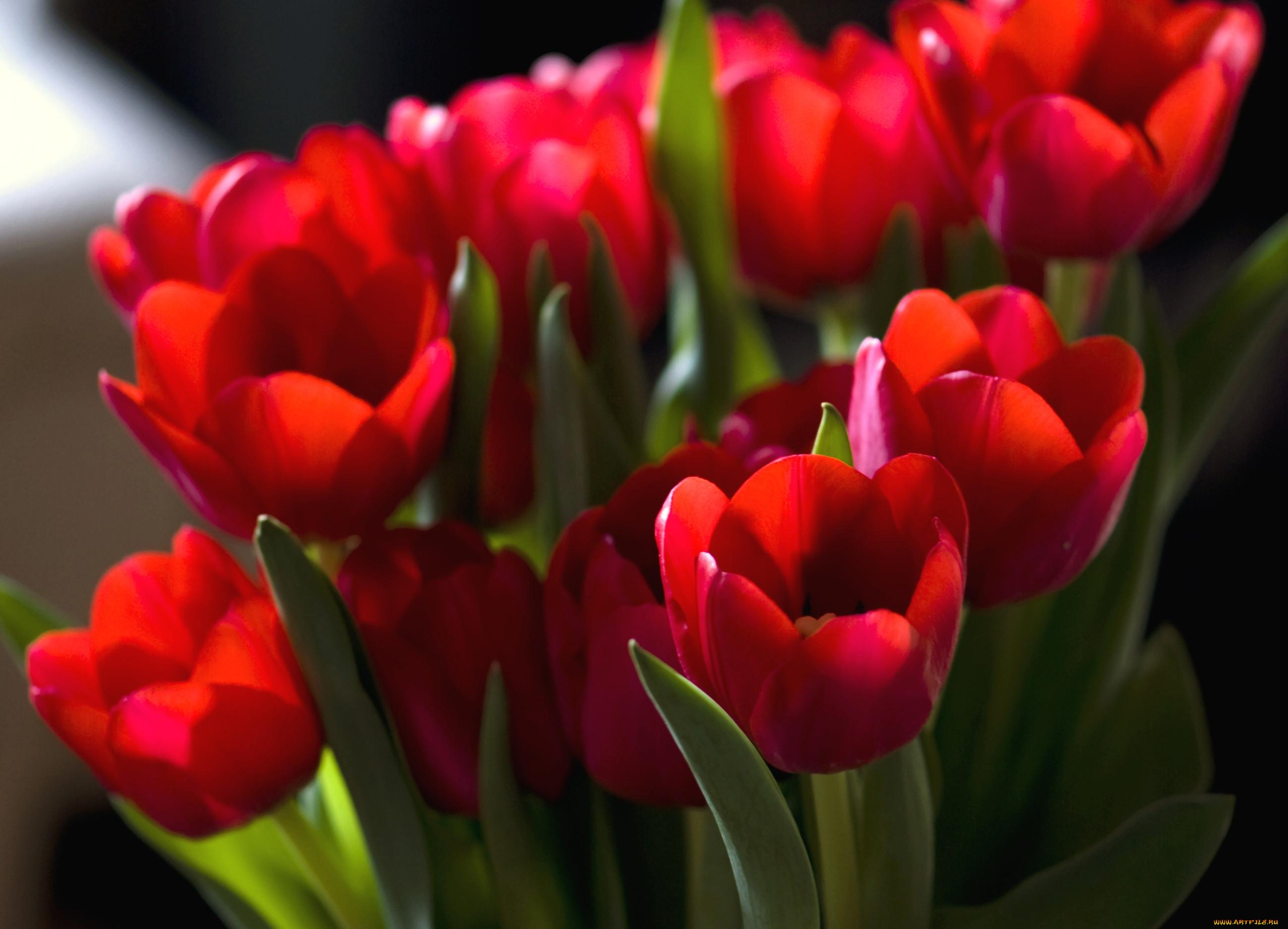 Тюльпаны : фото цветов, красивые сорта с названиями Домашняя ферма 500